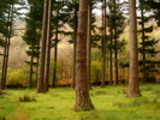 Pine Trees, Woodland near Coniston Water UK