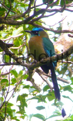 Product picture Female Quetzal, Bird