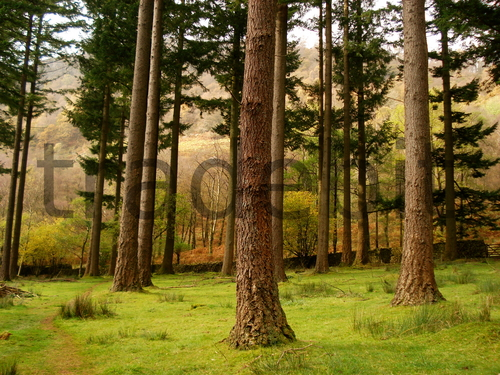 Product picture Pine Trees, Woodland near Coniston Water UK
